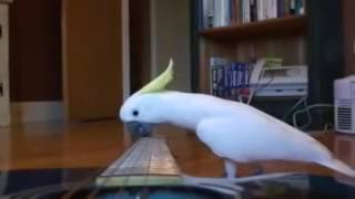 Funny bird videos – birds vs instruments – Parrot plays guitar