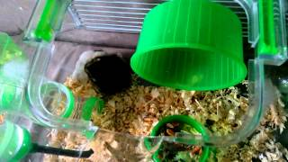 Funny Hamsters First Meeting 2
