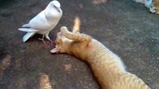PIGEONS Are Such FUNNY BIRDS – Cute And Funny Pigeon Videos Compilation || NEW