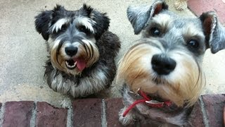 A SCHNAUZER SYMPHONY: DANCING, HOWLING, CRAZY FUNNY DOGS