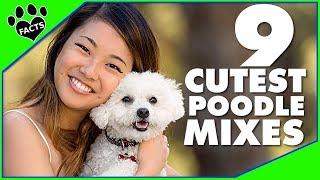 9 Cute Small Poodle Hybrid Mix Breeds Designer Dogs 101 – Animal Facts