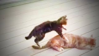 Funny Cats  😹 Funny Cats Playing  (Full) [Funny Pets]