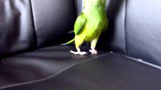 Funny conure behaviour