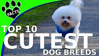 TopTenz: Top 10 Cutest Small Dog Breeds (w/ Ozzie Bichon Frise) – Animal Facts