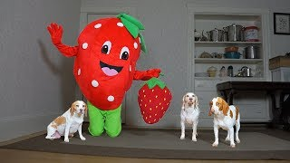 Giant Strawberry Pranks Dogs with Strawberry: Funny Dogs Maymo, Penny, & Potpie