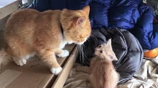 Dad cat beats up kitten and gets a kiss from mom at the end. Part 1.