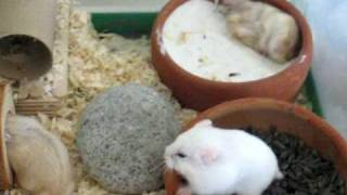 My Siberian Hamsters having fun