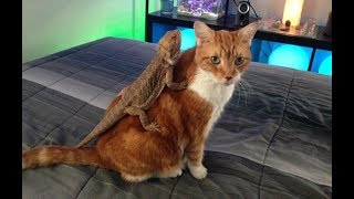Cat vs Lizard –  Funny and Cute Cats Videos Compilation