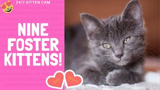 Shameless Kittens! We Foster Cats & Kittens! #shamelesskittens – 24/7 Kittencam – 9 foster kittens!