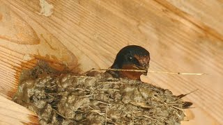 Funny & Cute Birds – Barn Swallow Building a Nest
