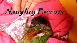 Naughty, Dancing, Funny Bird Compilation; Green Cheek Conure