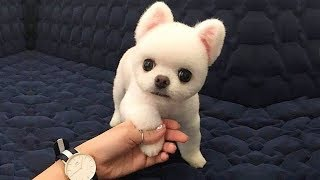 Funny Mini Pomeranian Dogs Video Compilation #6 – Cute Dogs Video