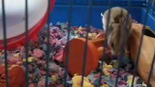 Cute and Funny Hamsters Videos 2019 🐹 DienMsm #36