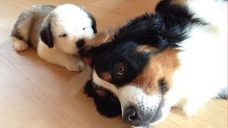 Cutest Dogs And Puppies In The World – Funny Videos Of Puppies Compilation – Puppies TV