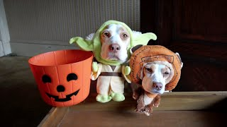 Dogs in Costumes Go Trick-or-Treating on Halloween: Cute Dogs Maymo & Penny