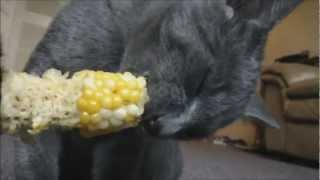 Cute Cats Eat Corn on the Cob