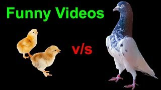 Beautiful Pigeons And Cute Chicks | Birds Fighting | Funny Birds Video