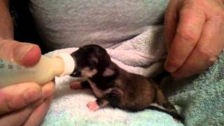 Bottle feeding chihuahua puppies
