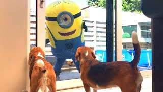 🍌🤓GIANT MINION IN REAL LIFE🍌🤓 Funny Dogs Louie and Marie