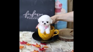 White Poodle Toy Poodle Cute Dog