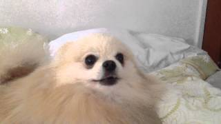 Furious Pomeranian (Cute little dog aggressively barking)