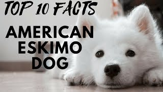 American Eskimo Dog – Top 10 Interesting Facts