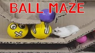 Two Cute Hamsters Conquer the hamster Ball Maze