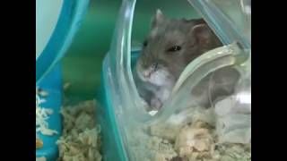 Cute and Funny Hamsters Videos 2019 🐹 DienMsm #24