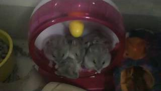 Cute Funny  hamsters sleeping together in a hamster wheel