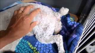My First Delivery – 5 kiddos!!!! Toy Poodle – Maltipoo puppies!