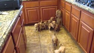 Goldendoodle Puppies Work for their food!