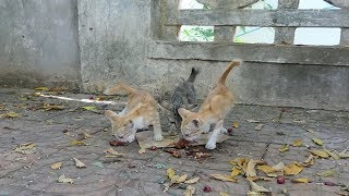 Adopt 3 kittens lives near the wall along  the street without food – Animal In Crisis