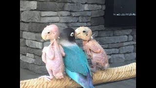 Bald Birds Find Love In Polyamorous Relationship | CUTE AS FLUFF