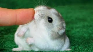 Funny And Cute Dwarf Hamster Ever