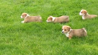 Pembroke Welsh Corgi Puppies For Sale  Jared Weaver