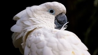 Funny Cockatoo Talking Compilation – Cockatoo Funny 😂😁