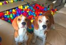 BALL PIT SURPRISE : Best Dog Reaction Ever! Funny Dogs Louie and Marie