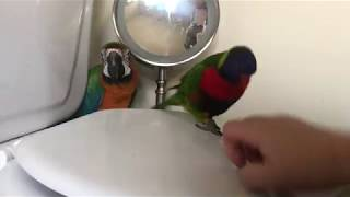 Cute birds thinks the toilet is a playground
