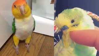 Funny Parrots Budgies and Cute Birds Compilation