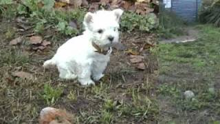 Devnik Westie Puppies 2009