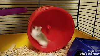 HAMSTERS – Funny Hamster Wheel – Spinning out of Control