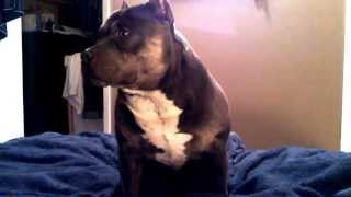 My Funny And Cute Pit Bull Bully Dog Talking and Answering Questions teamCZR