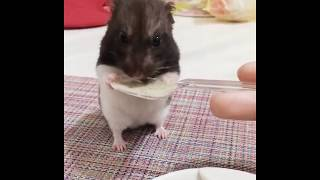 Cute and Funny Hamsters Videos 2019 🐹 DienMsm #32