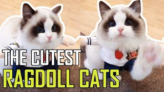 Super Cute Bicolor Ragdoll Kittens Compilation