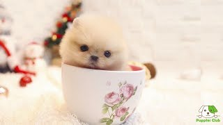 Cutest Teacup Pomeranian Puppies and Dogs