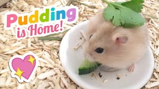 Adorable Tiny Hamster Compilation Video!! ♥ Welcome Home Pudding ♥
