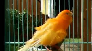 Funny Birds Singing and Dancing 2017 hd