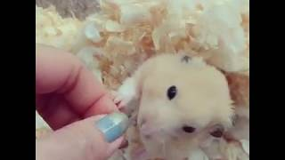 Cute and Funny Hamsters Videos 2019 🐹 DienMsm #08