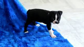 Boston Terrier puppies for sale Irvin Martin