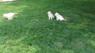 Labrador Retriever Puppies For Sale Benuel Smucker